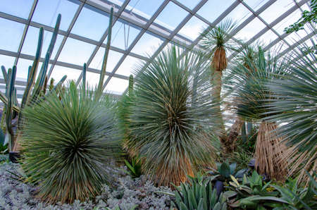 Singapore - April 28, 2014: Yucca rostrata sapphire blue in the Dome of Flowers in Gardens by the Bay under the glass dome