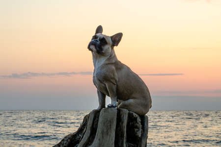 A cute young french bulldog is sitting on an stump and looking up. The pet is tired after a walk. Sea, sunset and pink sky. Close-up