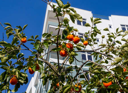 Ripe large persimmons on the background of the facade of a residential building. Branch of a tree with bright orange fruits. Harvest in the orchard in the city. The concept of rapprochement of the village and the city Фото со стока