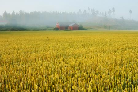 foggy morning. haystacks in the field