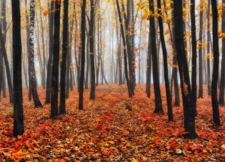 autumn forest. a picturesque foggy morning in an autumn forest Stock Photo