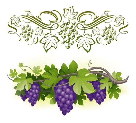 포도 수확: Ripe grapes on the vine & decorarative calligraphic vine - vector illustration