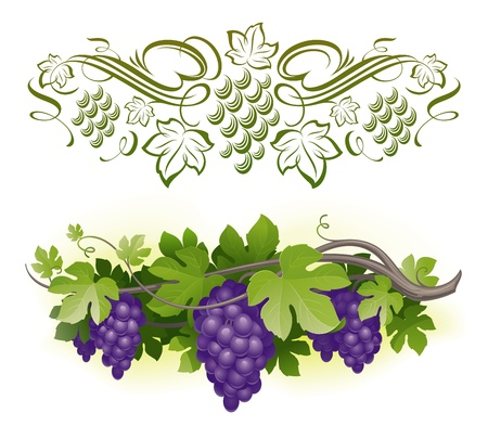 viticulture: Ripe grapes on the vine & decorarative calligraphic vine - vector illustration