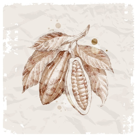 cocoa bean: Grunge vector illustration - hand drawn cocoa beans on branch
