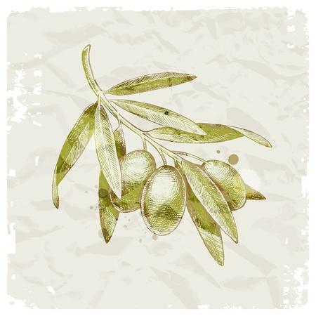 оливки: Гранж векторные иллюстрации - рисованной оливковую ветвь