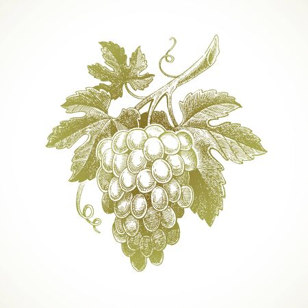 Hand drawn bunch of grapes - vector illustration. Illustration