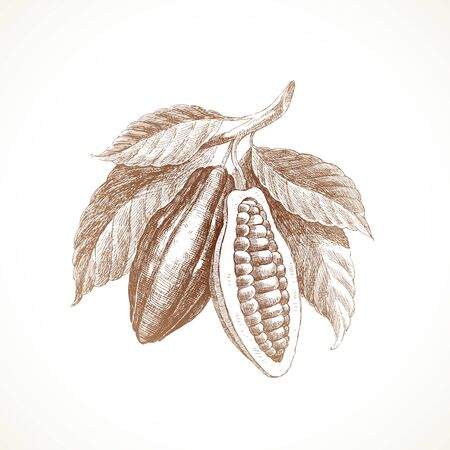 Hand drawn cocoa beans on branch. Vector illustration.