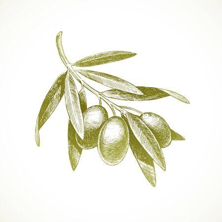 Hand drawn olive branch - Vector illustration.