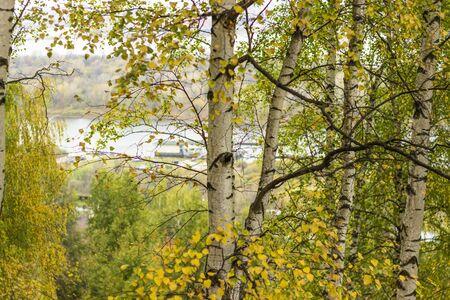 arboleda: Un bosque de abedules otoño Foto de archivo