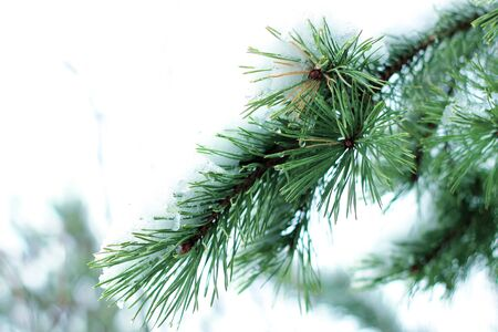 evergreen trees: Fir Branch And Snow Flakes