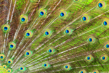 peahen: Peacock green and blue plumage in close up. Stock Photo