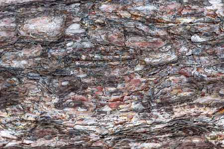 rubella: Bark of Pine Tree. Stock Photo