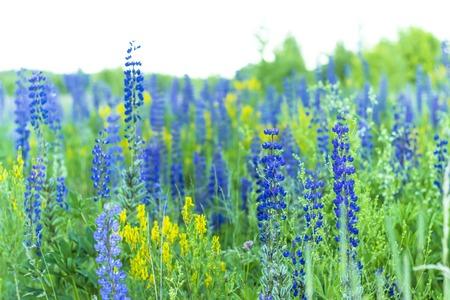 reloj de sol: azul hermoso del verano Lupin Foto de archivo