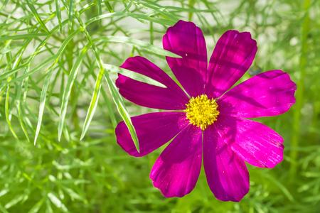 cosmos flower: Cosmos flower (Cosmos Bipinnatus) with blurred background Stock Photo