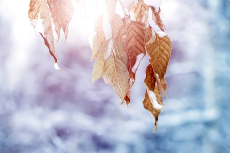 Brightly colored autumn leaves with dusting of snow.