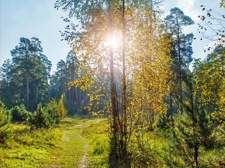 Birch in the sun autumn day