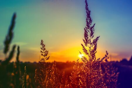 Grass at sunset, the sun.