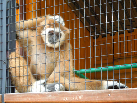Gibbon at the zoo
