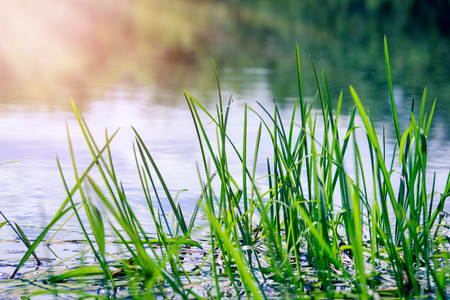 Young green reeds in the river against the sun on a summer day