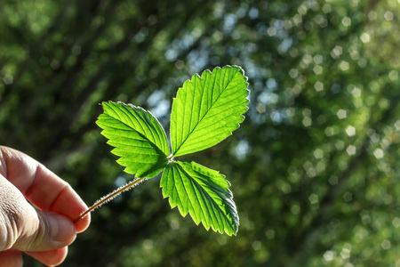 Fresh green leaf in hand against the background of green forest.