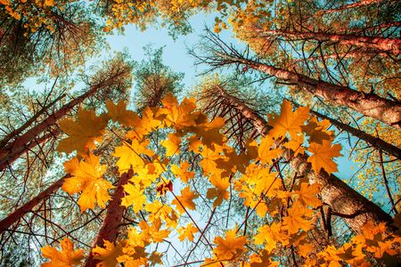 Autumn background. View from below on the crowns pines and maple trees with yellow and red leaves Stock Photo