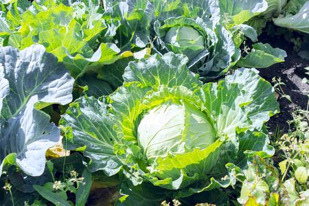 Close up of a beautiful green cabbage in a garden. Vegetarian food.