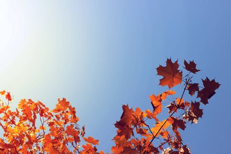 Autumn maple leaves on blue sky background.
