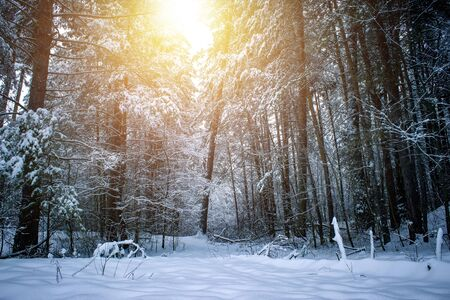 Beautiful winter landscape with snow covered trees in sunny day