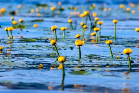 Summer lake with yellow water lily flowers on blue water Stock Photo