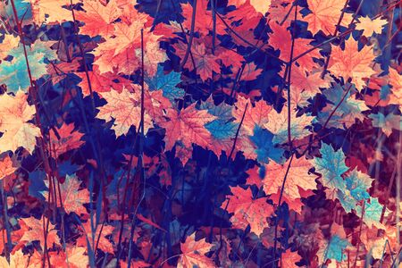 Yellow autumn maple leaves. Retro style background