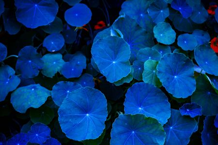 Neon, blue Nasturtium leaves Abstract background Stock Photo