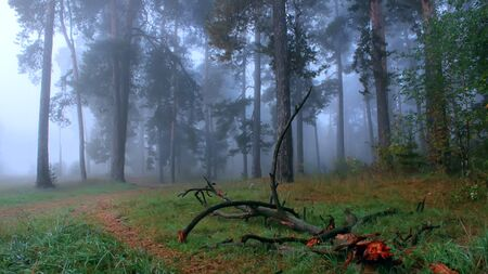 Mystical, dark foggy pine forest Stock Photo