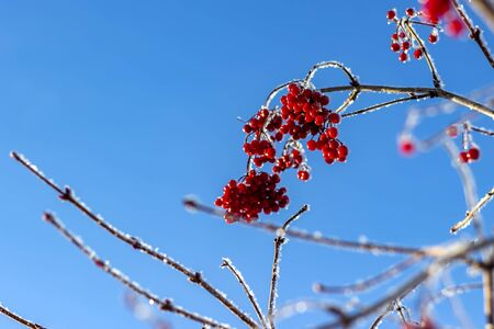 Branches of viburnum with bright juicy red clusters of berries are covered with ice and snow on blue background sky