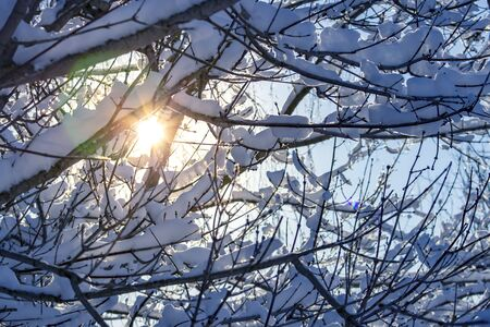 The sun shines through snowy tree branches in winter.