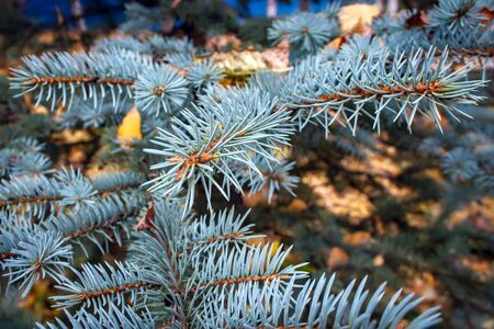 Blue spruce branches in autumn season.