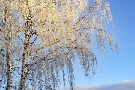 Frozen birch of tree covered with hoarfrost on blue sky background