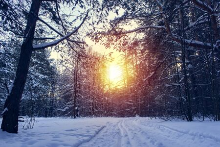 Landscape with winter forest and bright sunbeams. Sunrise, sunset in beautiful snowy forest