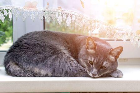The gray cat sleeps peacefully on the sunny windowsill Archivio Fotografico - 134419383
