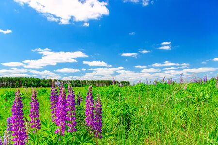 Lupinus field with pink purple and blue flowers in sunny day. A field of lupines. Spring background.