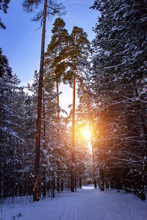Sunset in a russian winter pine forest