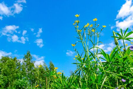 Yellow wildflowers against blue sky with clouds