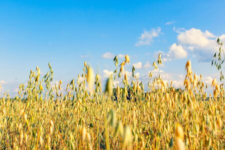 Field of oats on a sunny summer day. Agriculture concept