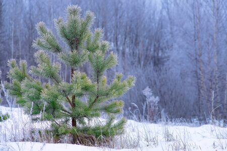 Young snowy pine trees grow in the forest