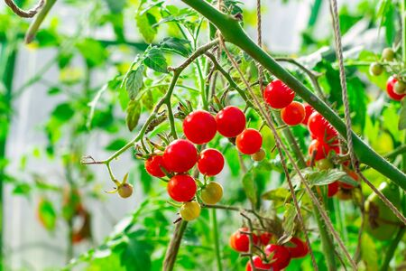 Cherry tomatoes in a garden. Harvesting concept