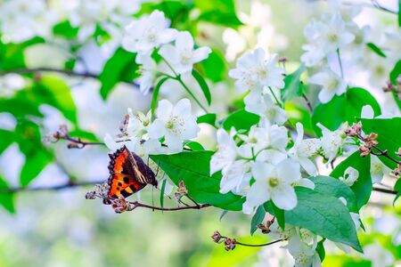 Butterfly on a blooming apple tree. Spring background Zdjęcie Seryjne