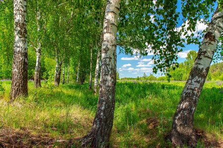 Birchwood in a sunny summer day in Russia. Natural background