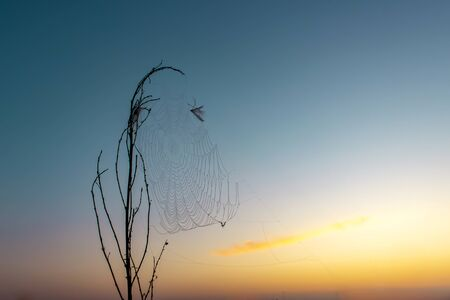 Dry grass in spiders web on sunrise. Imagens