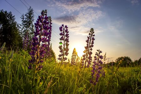 Lupins in the field at sunset. Summer sunset with flowers in the field