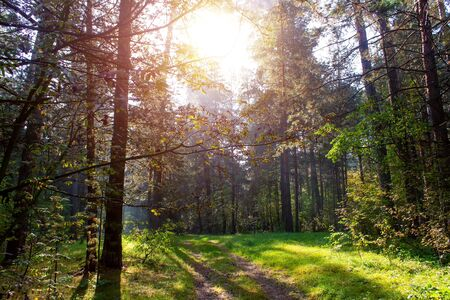 Pine forest on a sunny summer day in Russia