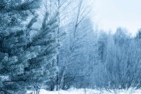 Winter forest with coniferous trees, with young pines in the snow in the winter time during the day. Nature calendar. Winter and christmas concept.
